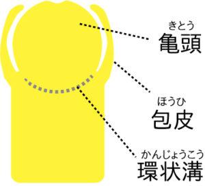 男性器断面図
